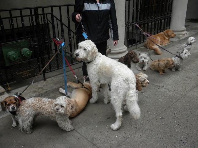 Dog gathering for a walk near Fifth Ave.